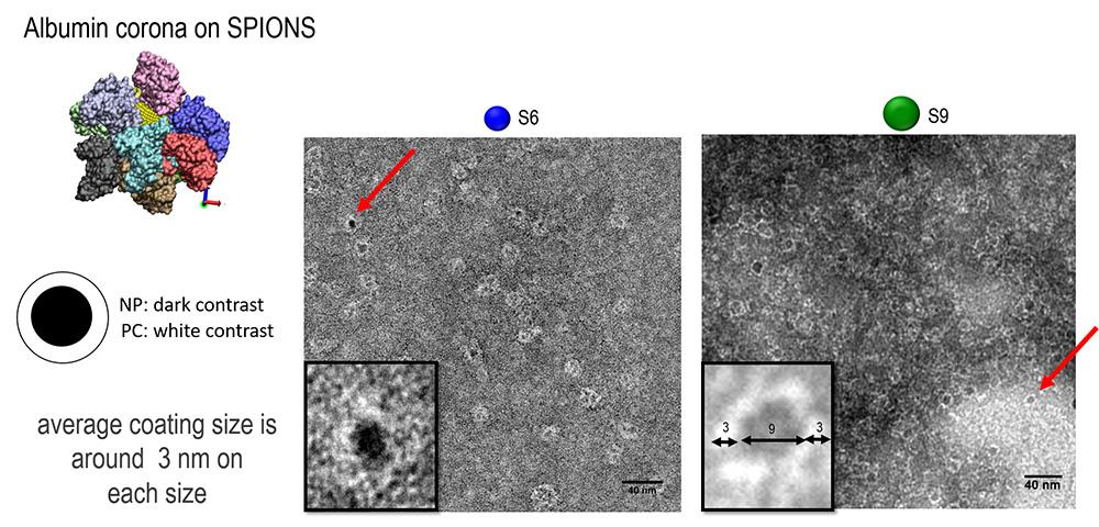 Preformed protein corona on spions